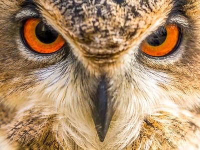 Eurasian Eagle Owl (Bubo bubo) eyes