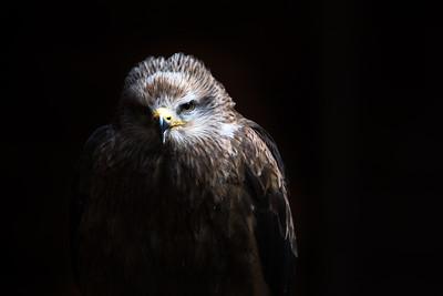 Black kite (Milvus migrans) portrait