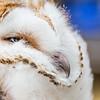 Wild barn owl (Tyto alba) ringing with Rushcliffe Barn Owl Trust.