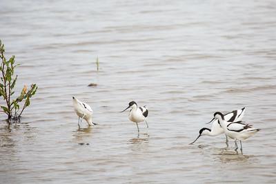 Avocet group (Recurvirostra avosetta)