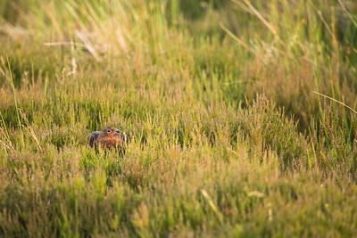 female grouse (Lagopus lagopus) hiding in heather, landscape.