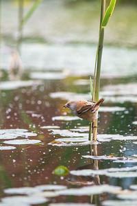 female Bearded Tit (Panurus biarmicus) fishing