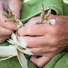 Wild barn owl (Tyto alba) ringing with Rushcliffe Barn Owl Trust