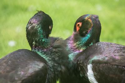 Black Stork (Ciconia nigra) pair