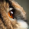Eurasian Eagle owl (Bubo bubo) eye side view