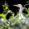 Cattle egret (Bulbulcus ibis)
