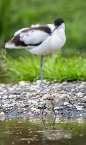 Avocet (Recurvirostra avosetta) with chick juvenile