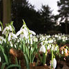 Spring Snowdrops (Galanthus nivalis)