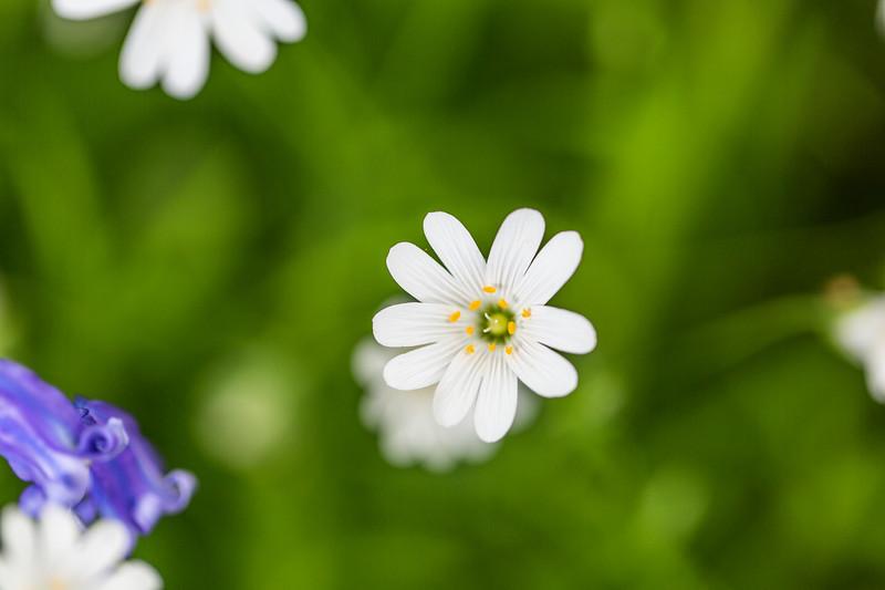 Greater Stitchwort flowers  (Stellaria holostea)