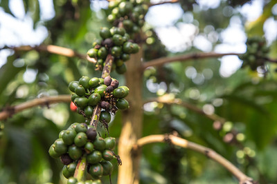 Coffee plant landscape (Coffea sp.)