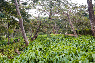 Coffee plantation nursery (Coffea sp.)