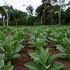 Tobacco (Nicotiana tabacum) crop portrait