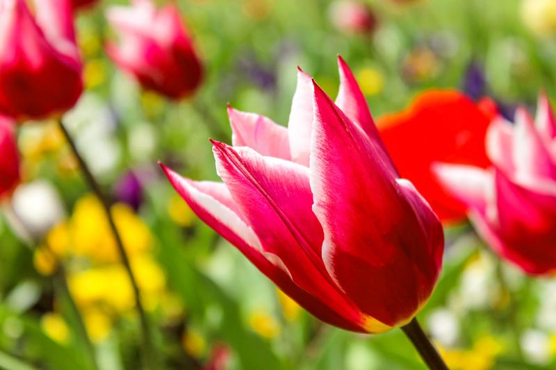 Grandessa Tulip