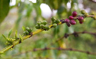 Coffee beans (Coffea Sp.)