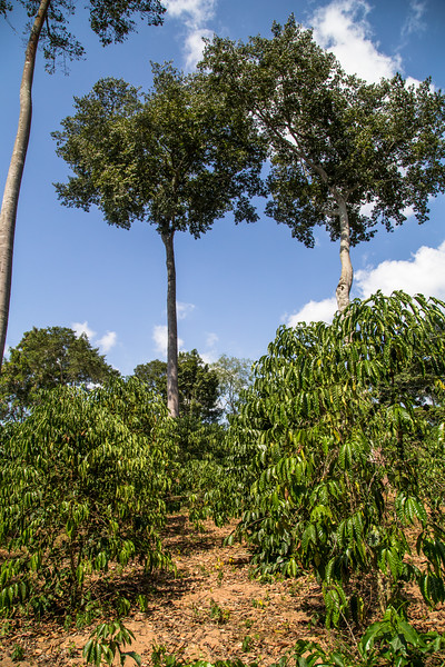 Agroforestry with coffee (Coffea sp) Eucalyptus (Eucalyptus) portrait