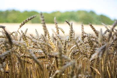 Wheat (Triticum sp.) in a farmers field.