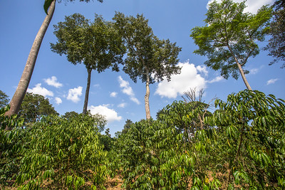 Agroforestry with coffee (Coffea sp) Eucalyptus (Eucalyptus) landscape