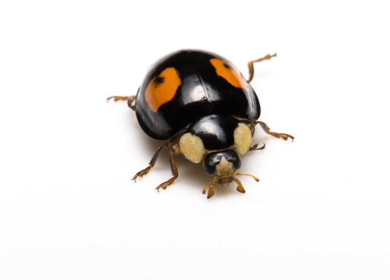 2 spot Black Ladybird (Harmonia axyridis conspicua)
