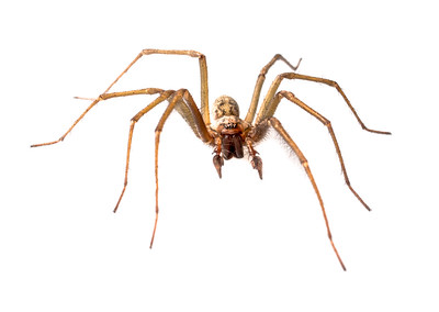 Common House Spider (Tegenaria domestica)