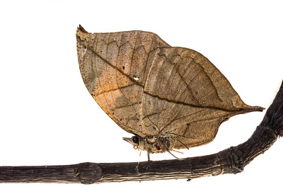 Dead Leaf Butterfly (Kallima inachus)