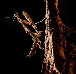 Malaysian Dead Leaf Mantis (Deroplatys dessicata)