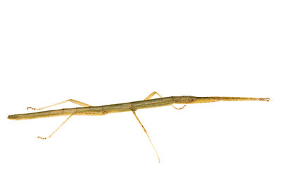Indian Stick Insect (carausius morosus)