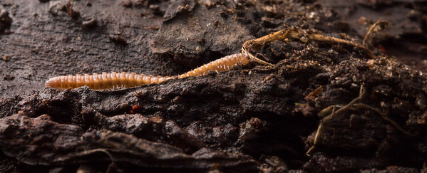 Flat-Backed Millipede (Polydesmus angustus) on wood