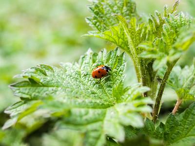 7 spot Lady Bird (Coccinella septempunctata)