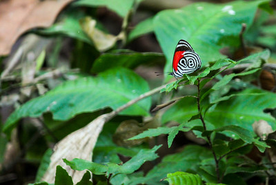 Anna's Eighty Eight Butterfly