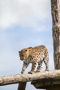 Amur leopard (Panthera pardus orientalis) walking