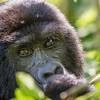 Mature mountain gorilla (Gorilla beringei beringei)