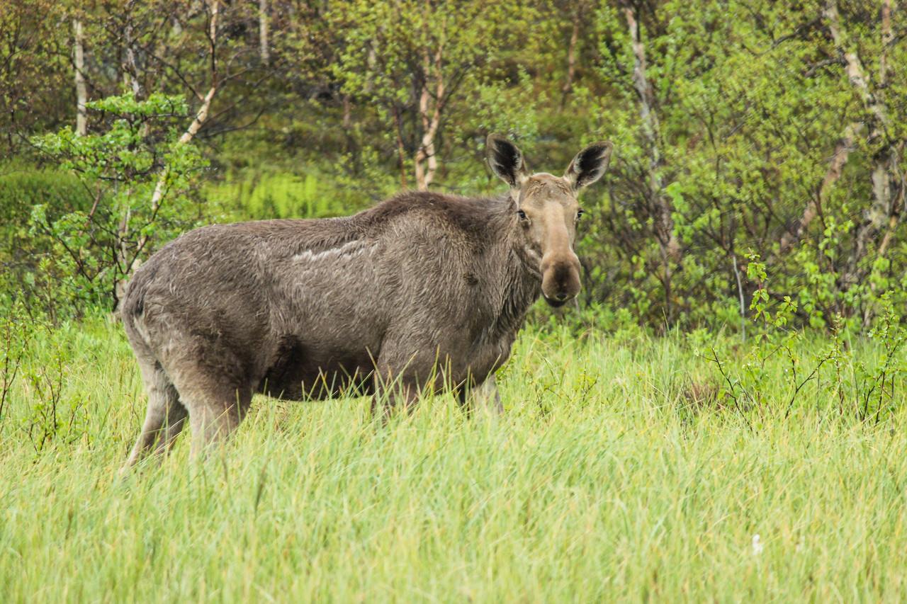 Eurasian Elk Or Moose Bull Portrait Lappland Sweden Europe Stock ...