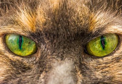 Domestic cat eyes (Felis catus)
