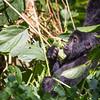 Young mountain gorilla (Gorilla beringei beringei) eating a leaf
