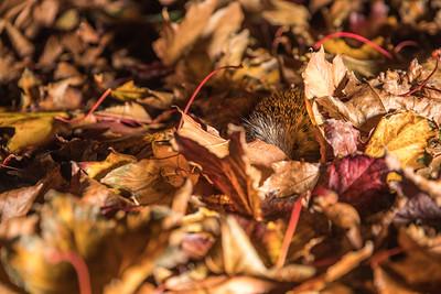 European hedgehog (Erinaceus europaeus) covered in autumn leaves