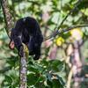 Juvenile mountain gorilla (Gorilla beringei beringei) playing