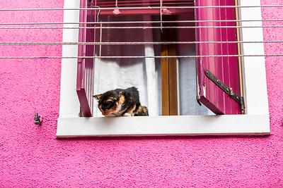Burno island cat (Felis catus) watching