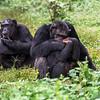 Chimpanzee cuddling (Pan troglodytes)