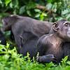 Watching adult chimpanzee (Pan troglodytes)
