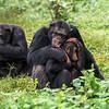 Chimpanzee hugging (Pan troglodytes)