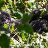 Young mountain gorilla (Gorilla beringei beringei) playing