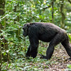 Quadrupedal knuckle walking chimpanzee (Pan troglodyte)