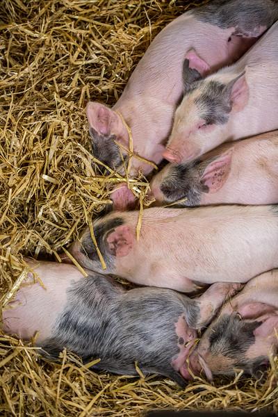 Resting piglets (Sus scrofa domesticus), portrait.