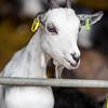 White domestic goat (Capra aegagrus hircus)