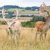 Fallow deer (Dama dama) standing in long grass