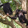 Chimpanzee mating process (Pan troglodytes)