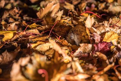 European hedgehog (Erinaceus europaeus) hiding