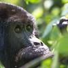 Adult mountain gorilla (Gorilla beringei beringei)