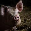 Domestic female adult pig portrait (Sus scrofa domesticus)