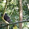 Resting juvenile Mountain Gorilla (Gorilla beringei beringei)